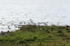 17_Måger og ænder