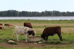 18_Engsøens kvæg