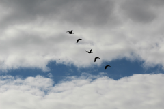 19_Fugleflugt