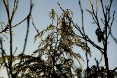 5.Vintergrøn i Haare Bjerge